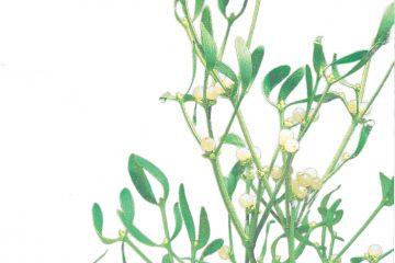 Mistletoe Thymus